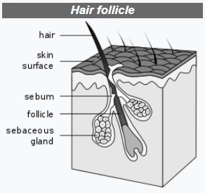 hair follicles determine the hair texture and colour