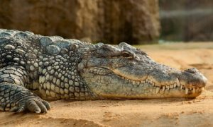 a must visit place to see the mighty reptiles at madras crocodile bank trust park Chennai