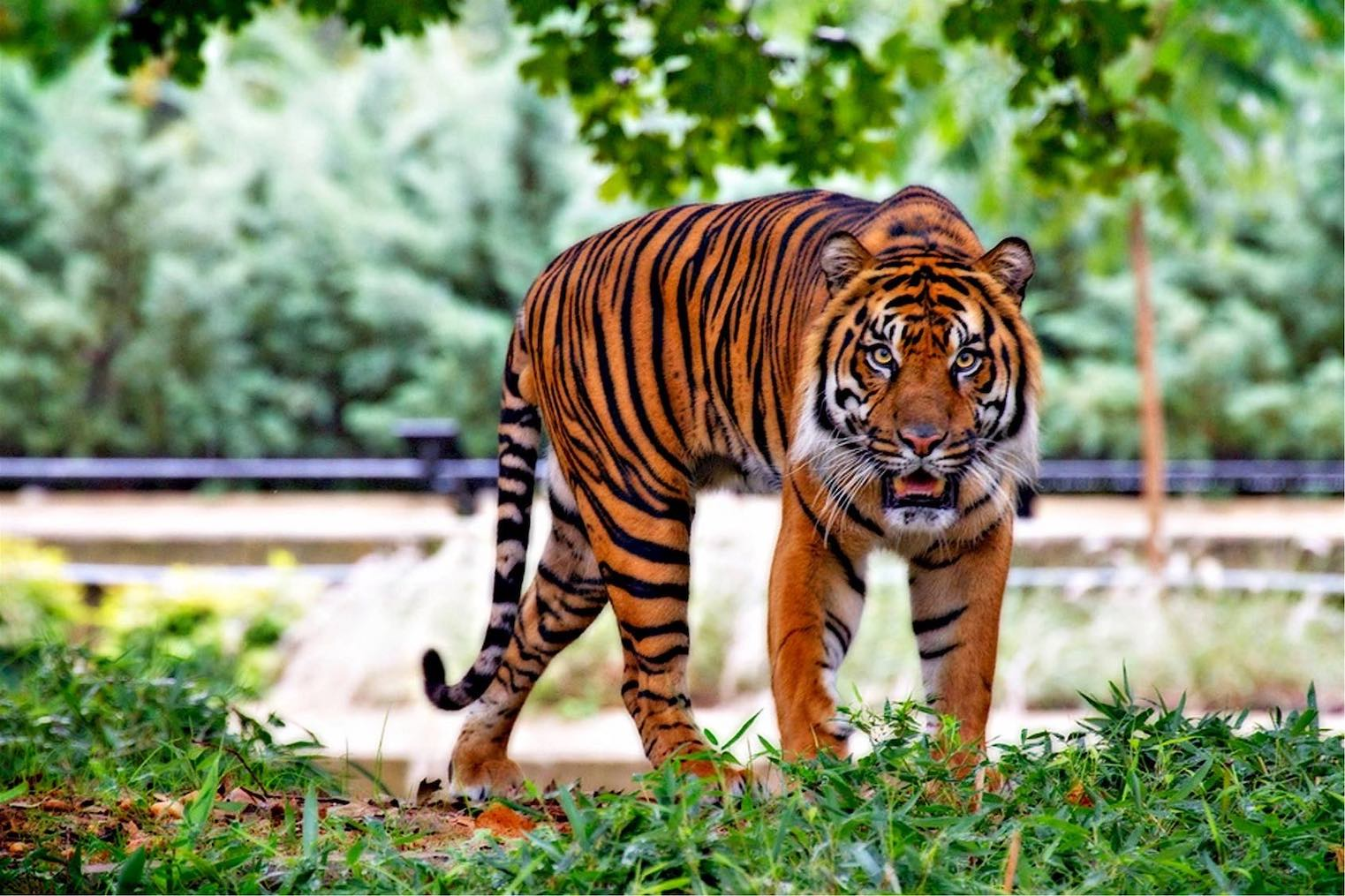 zoological park in New Delhi boasts of tigers chinkaras and 1000 plus species